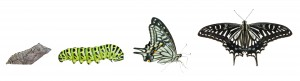 Stages of butterfly 1